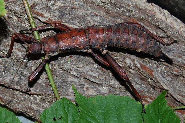 preview Giant Spiny Stick Insect