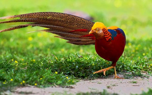 preview Golden Pheasant