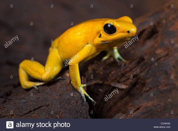 preview Golden Poison Frog