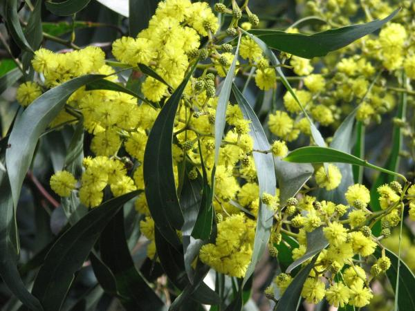 preview Golden Wattle