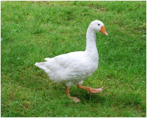 preview Goose