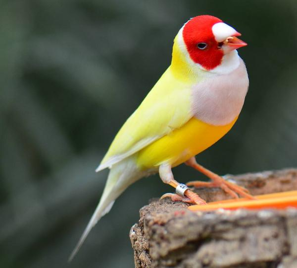 preview Gouldian Finch