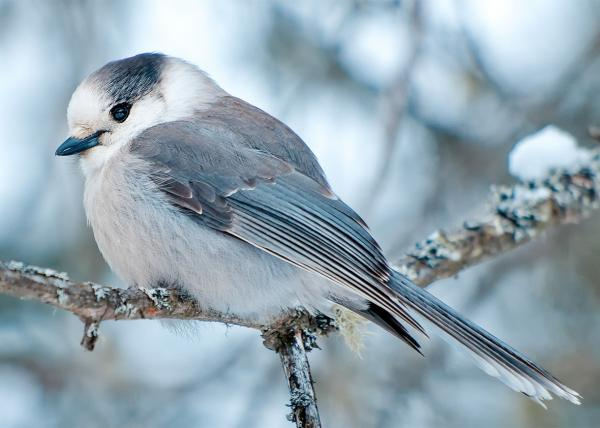 preview Gray Jay