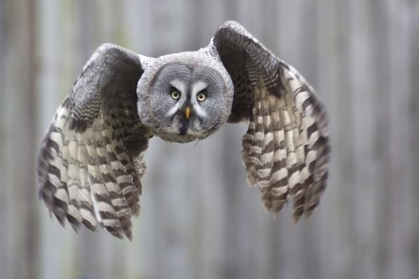 preview Great Grey Owl