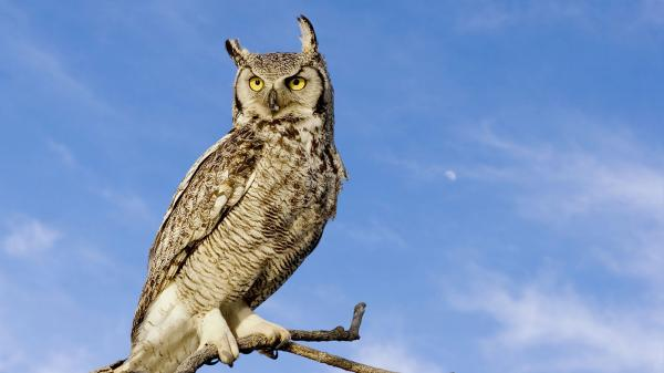 preview Great Horned Owl