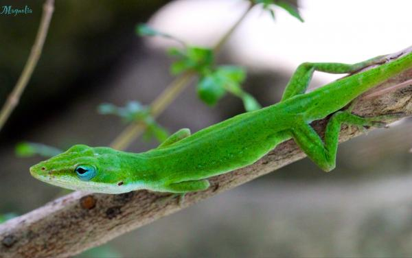 preview Green Anole
