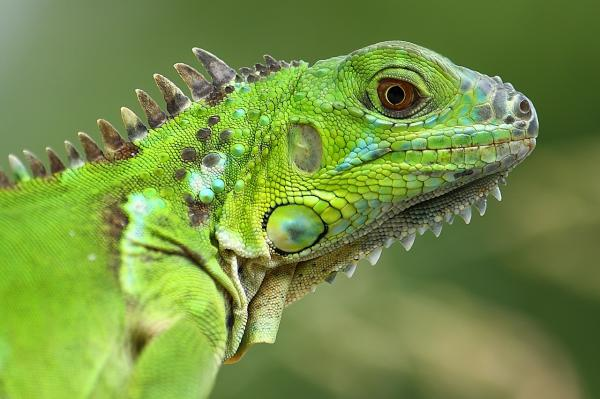 preview Green Iguana