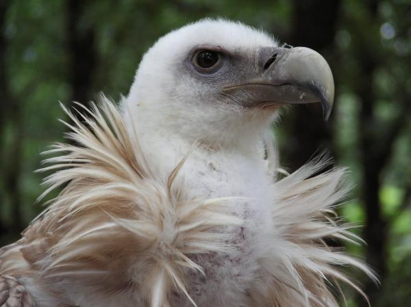 preview Griffon Vulture