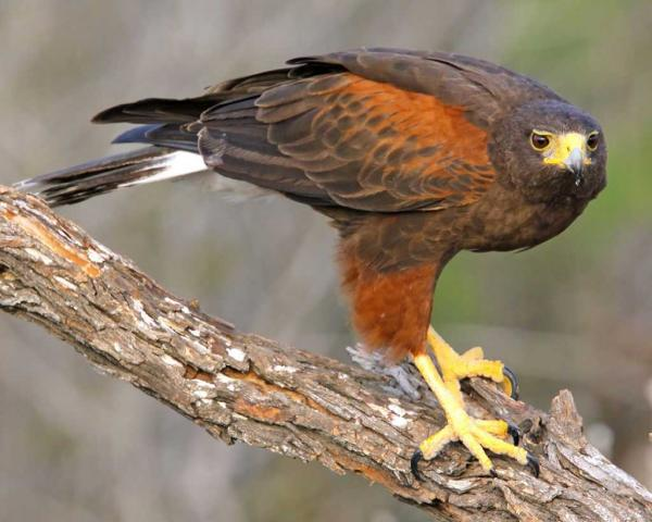 preview Harris's Hawk