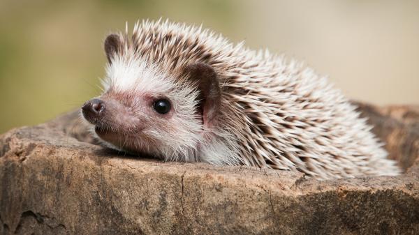 preview Hedgehog
