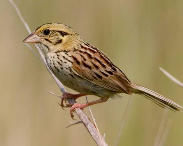 preview Henslow's Sparrow