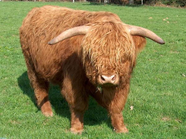 preview Highland Cattle