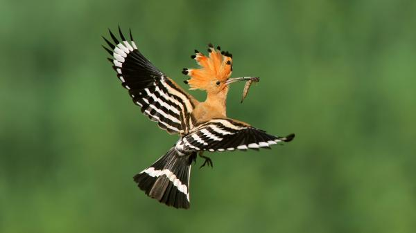 preview Hoopoe