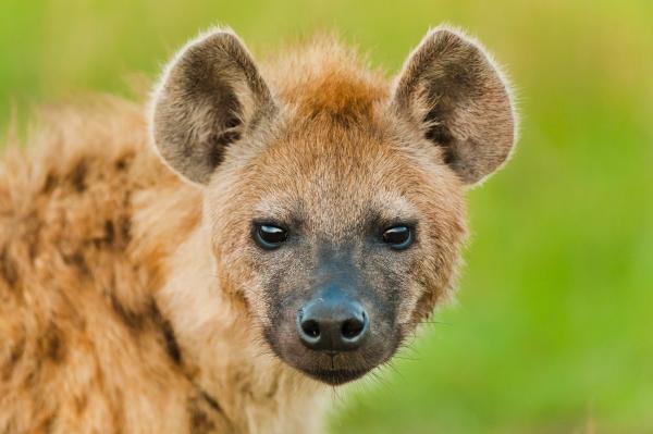 preview Hyena