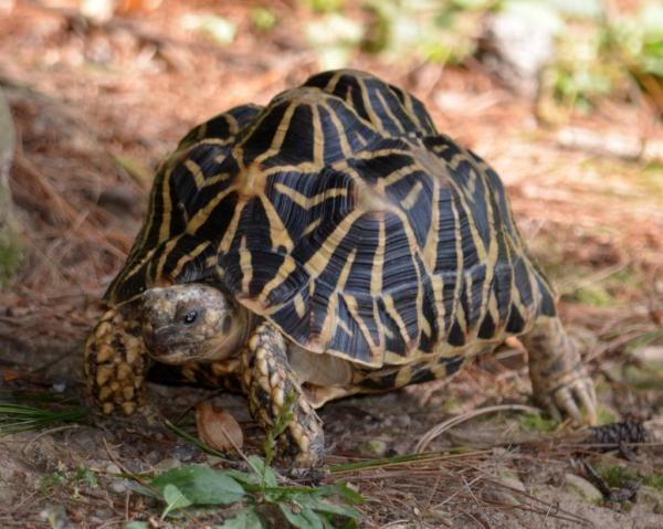 preview Indian Star Tortoise