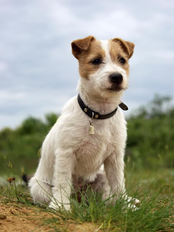 preview Jack Russell Terrier