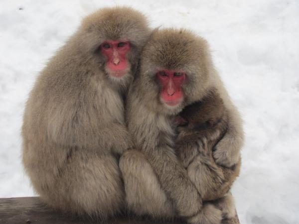 preview Japanese Macaque