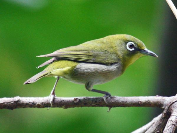 preview Japanese White-eye