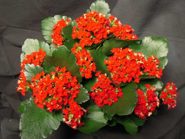 preview Kalanchoe