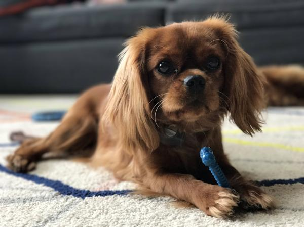 preview King Charles Spaniel
