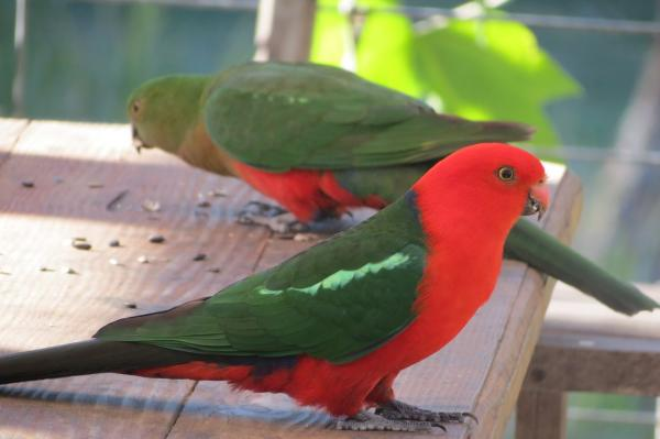 preview King Parrot