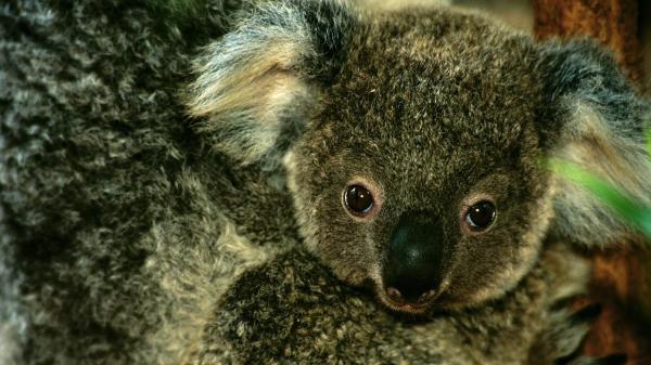 preview Koala