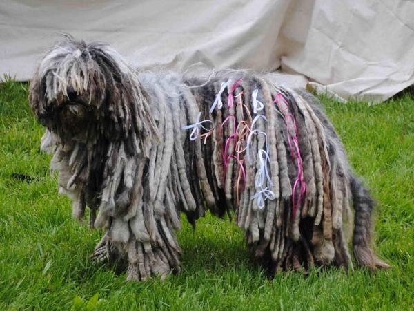 preview Komondor