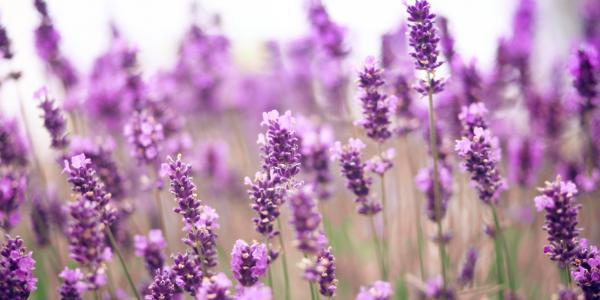 preview Lavender