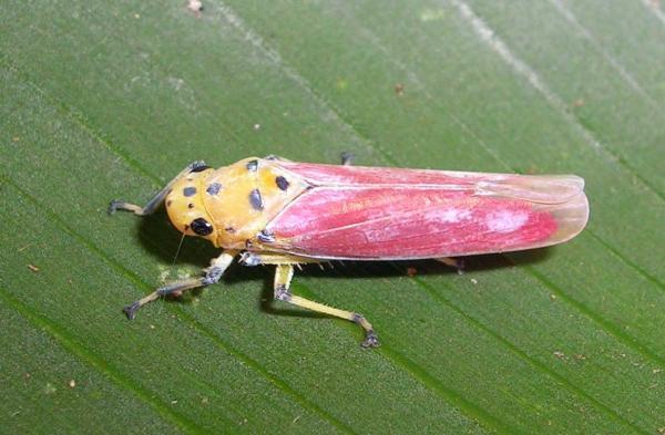 preview Leafhopper