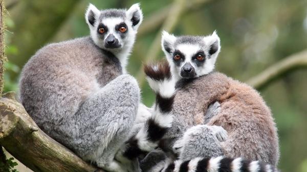 preview Lemur