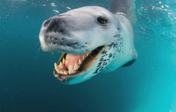 preview Leopard Seal