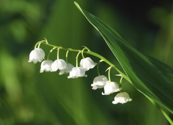 preview Lily Of The Valley