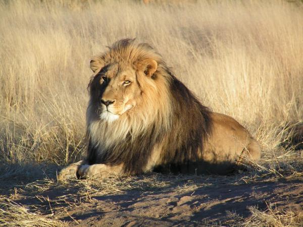 preview Lion