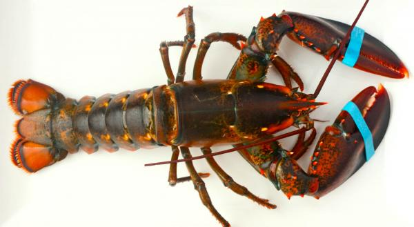 preview Lobster