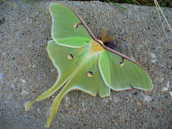 preview Luna Moth