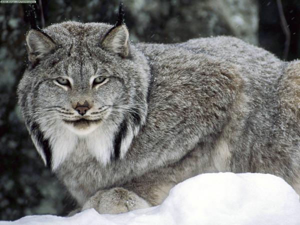 preview Lynx