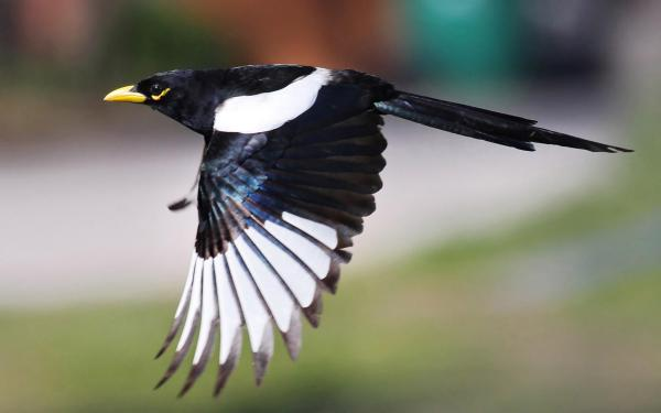 preview Magpie