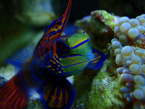 preview Mandarinfish