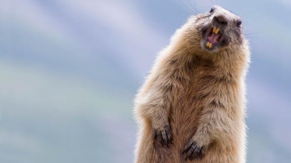 preview Marmot