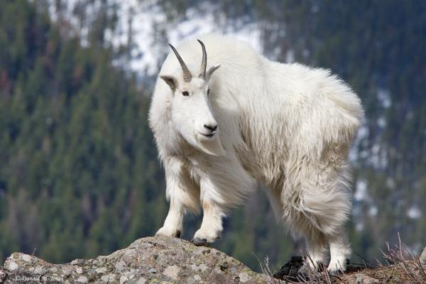 preview Mountain Goat