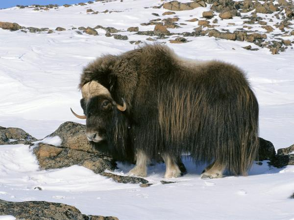 preview Muskox