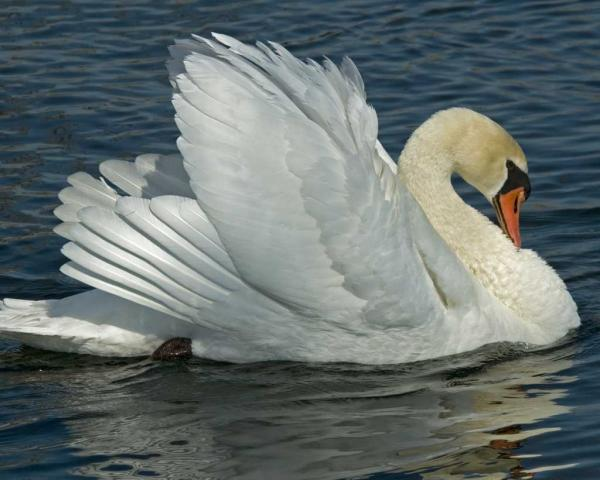 preview Mute Swan