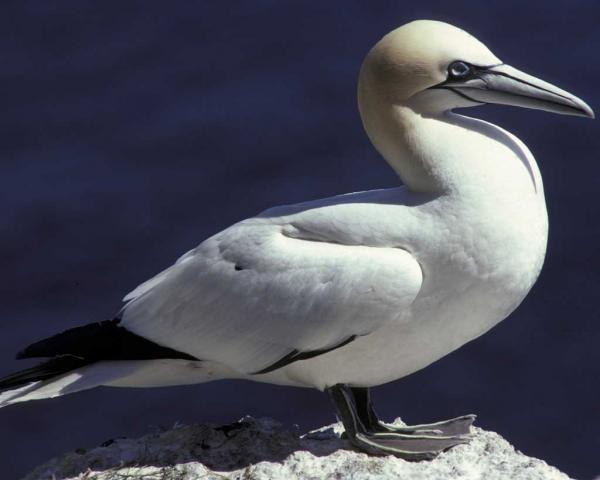 preview Northern Gannet