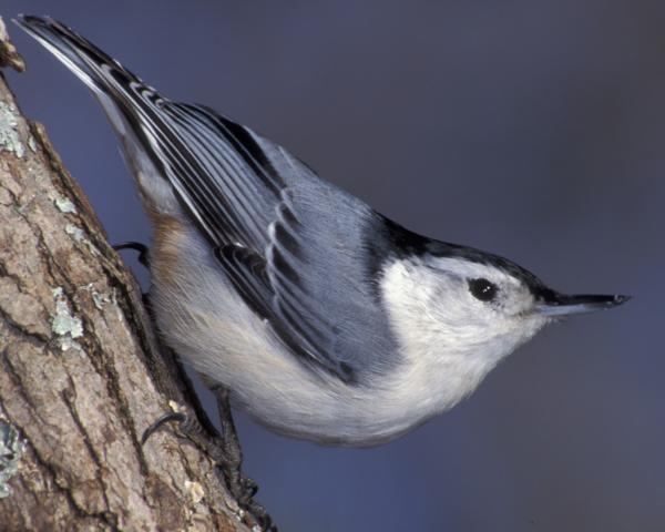 preview Nuthatch