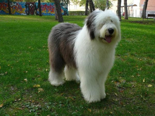 preview Old English Sheepdog