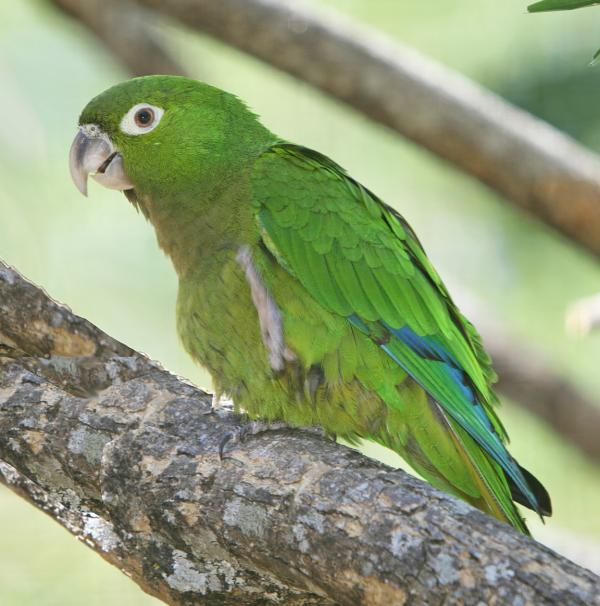 preview Olive-Throated Parakeet