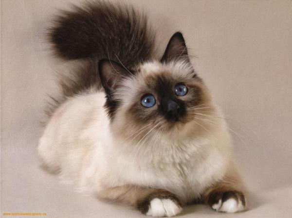 preview Persian Cat