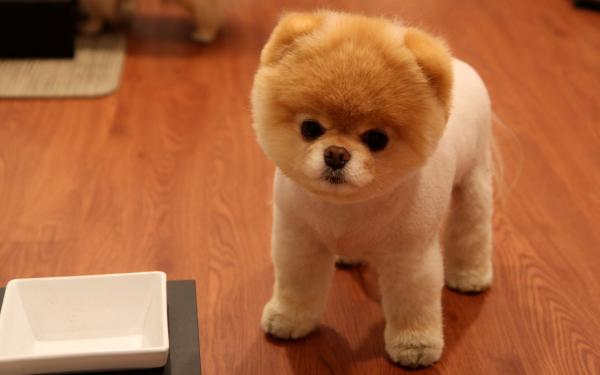 preview Pomeranian