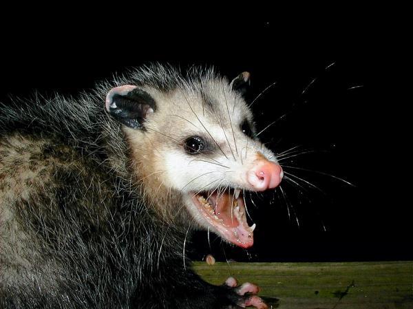 preview Possum