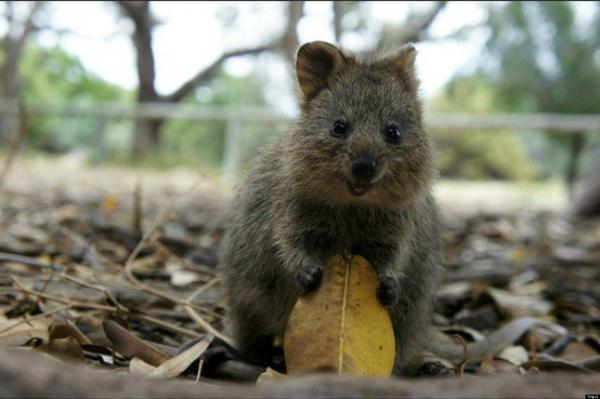 preview Quokka